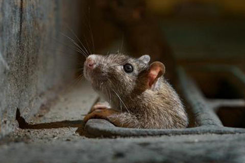 Knowledge of Rodent control: How to Do Household Rodent Control?